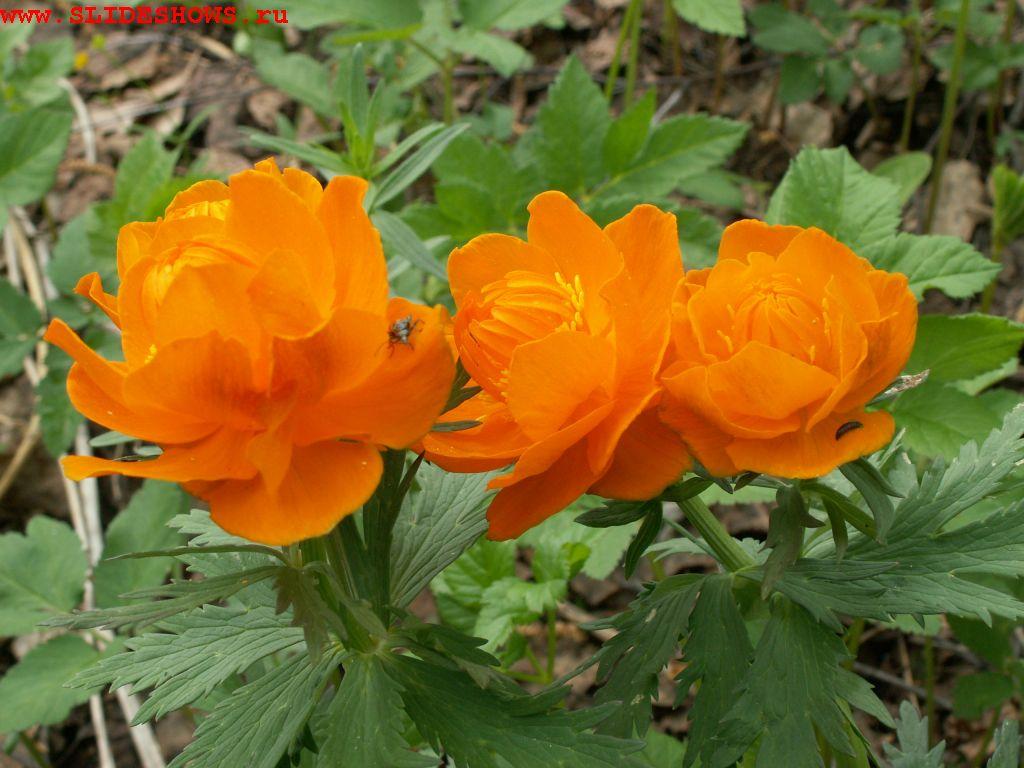 Картинки цветы сибири 7